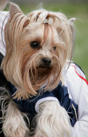 Yorkshire terrier in show clothing sits on the hands of the owner Stock Photo