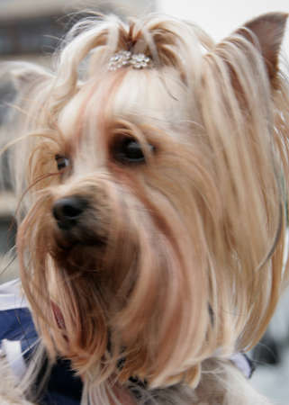 Yorkshire terrier in show clothing sits on the hands of the owner. Shallow depth of field. Stock Photo