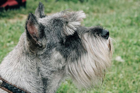 Terrier with trimming.