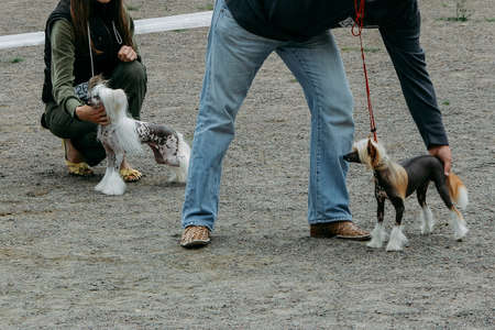 Man shows a Chinese Crested dog in a position stand on the exhibition 版權商用圖片