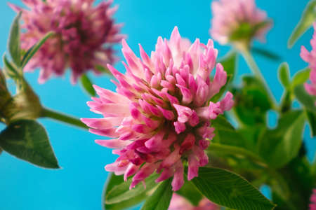 Clover flowers on a blue background