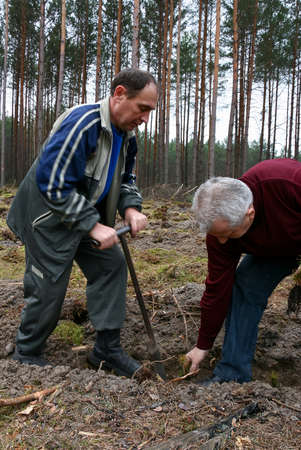 Gorodok, Volyn / UKRAINE - 01 April 2011: Two men planting a pine seedling using a special tool Redakční