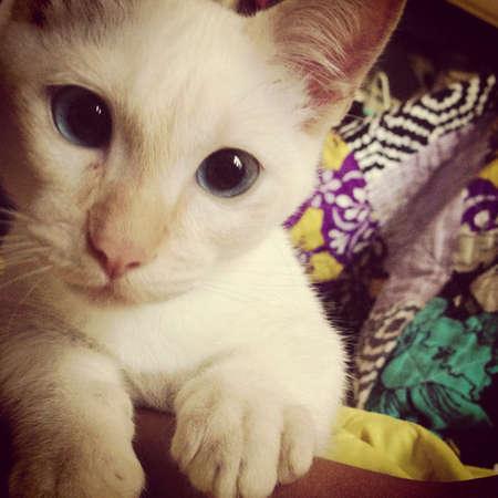 Innocent munchkin kitten.