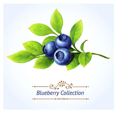 블루 베리 가지, 잎과 흰색 배경에 현실적인 디지털 페인트의 벡터 일러스트 레이 션에 고립 된 열매 일러스트