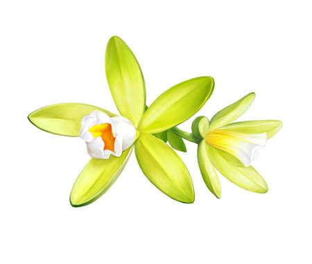 Vanilla, flowers isolated on white background. Realistic digital paint. Raster illustration.