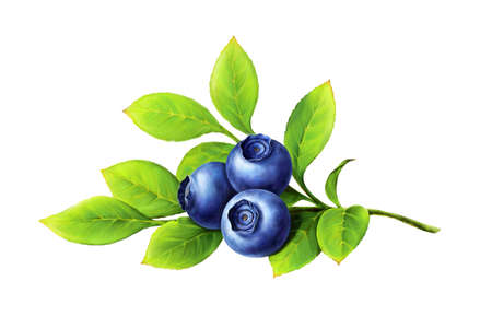 Blueberry branch, leaves and berries isolated on white background. Realistic digital paint. Raster illustration.