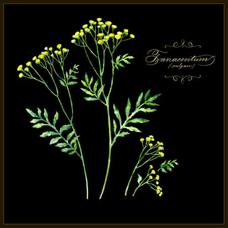 Tansy, botanical vector illustration. Watercolor painting. Calligraphic text. Illustration