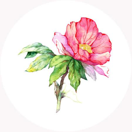 english rose: Watercolor pink wild rose. Vector floral illustration Illustration