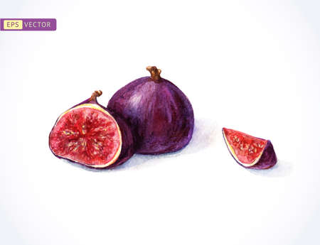 purple fig: Watercolor figs. Vector illustration. Hand painting.