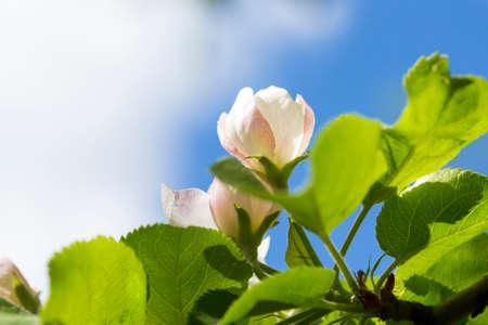 apfel: Junge Fr�hlingsblume auf Apfelbaum