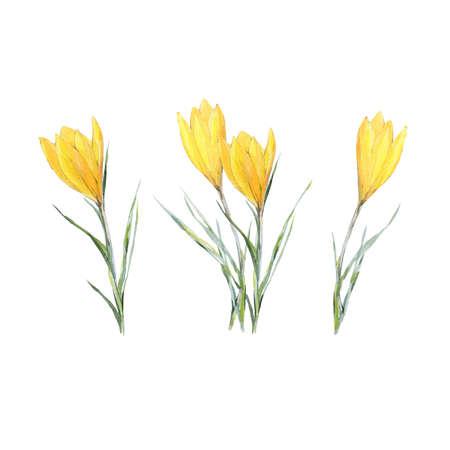 Crocus. Hand made botanical illustration.  on paper. Print or postcard