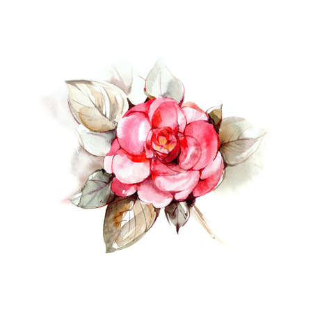 Rose.  botanical illustration  on paper. Print or postcard with roses.