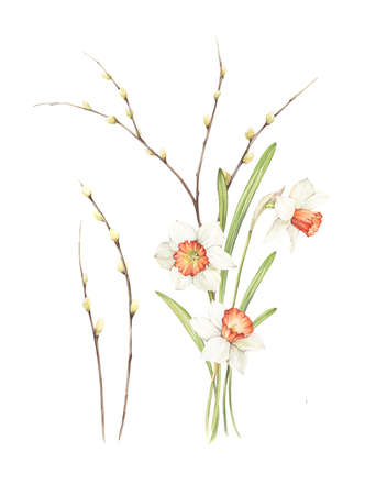 Spring floral composition with narcissus and willow. Hand made illustration. Watercolor on paper.