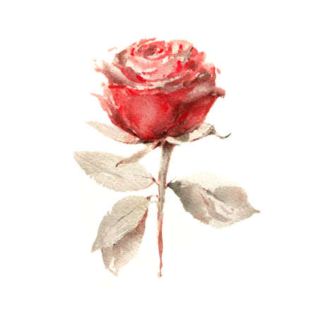 Rose. Hand made botanical illustration. Watercolor on paper. Print for interior decor, packaging, greeting card, poster, wedding invitation and other design. Фото со стока - 122310836