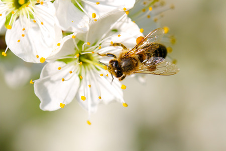 Honey Bee collecting pollen on a pear blossom Stock Photo