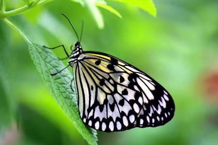 rice paper: Two Paper Kite, Rice Paper, or Large Tree Nymph butterfly (Idea leuconoe)