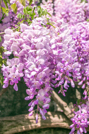 Wisteria Stock Photo