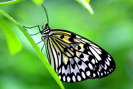 rice paper: The Paper Kite, Rice Paper, or Large Tree Nymph butterfly (Idea leuconoe)