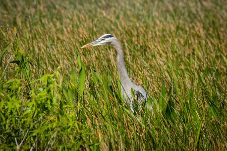 everglades: EVERGLADES. FLORIDA, USA - JANUARY 2016. Blue Heron. Stock Photo