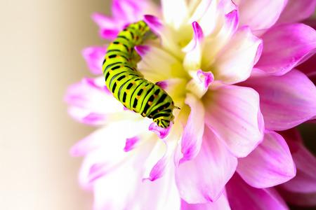 Swallowtail caterpillar on a pink Dahlia Stock Photo