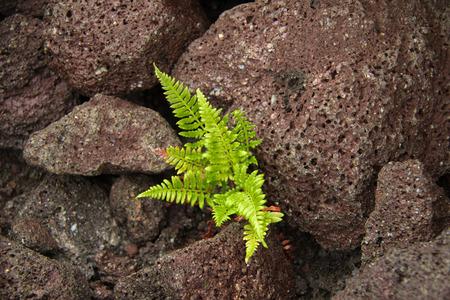magma: Fern growing in the magma rocks
