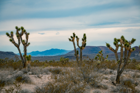 joshua: Joshua Trees with hills in the background in the USA Stock Photo