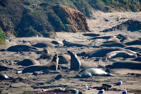 elephant seals laying on the beach sunbathing in USA, California Stock Photo