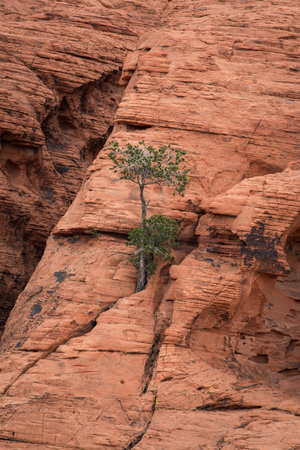 Red Rock with a lonely tree in the Red Rock Canyon National Conservation Area; USA