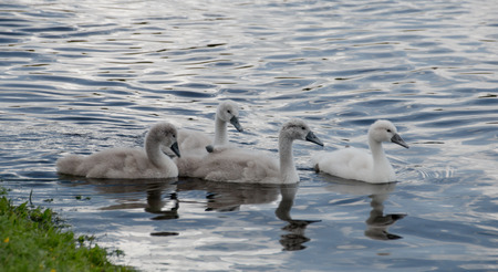 Four young cygnets of mute swan swimming in a lake