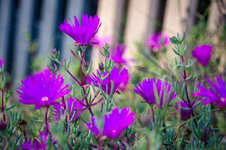 Lampranthus - Aizoaceae from the Ice Plant Family with purple flower