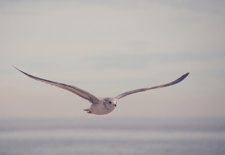 Beautiful seagull flying over the wide sea Stock Photo