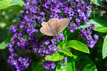 Aphantopus hyperantus, brown ringlet butterfly on a purple flower. Stock Photo