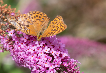 Silver-washed Fritillary or Argynnis paphia sitting on a pink flower with a broken wing