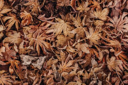 Leaves on the floor with frost in Winter time 写真素材