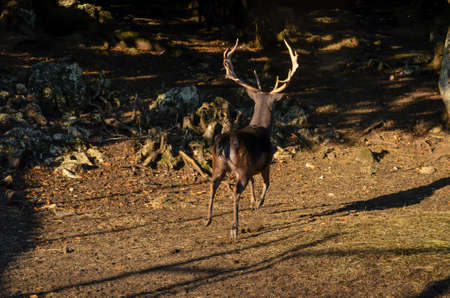Photo of the Fast deer movement in the woods. Natural environment Stock Photo