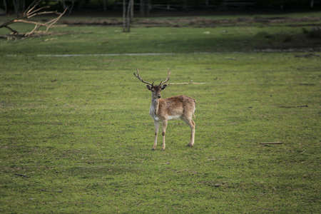 rutting: Photo of the Young deer on the green field