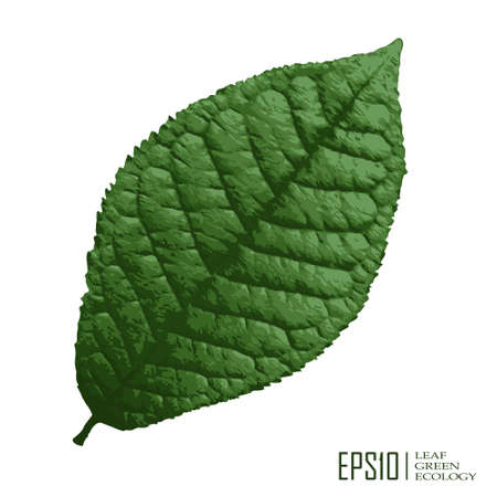 macro leaf: Vector illustration of isolated green leaf on white background