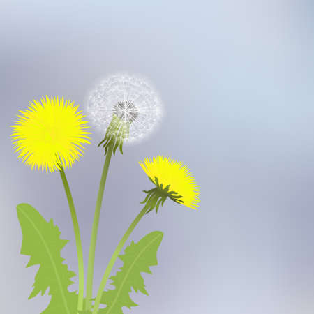 blowing: Spring dandelion flowers with leaves on a gray background. Illustration