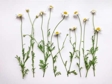 Patroon met kamille bloemen op witte achtergrond. Plat, bovenaanzicht Stockfoto