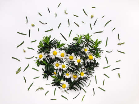 Floral heart made of chamomile flowers and fir branches isolated on white background. Flat lay, top view. Stock Photo