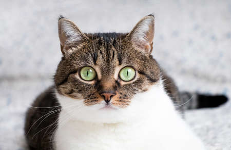 eyes wide open: Beautiful portrait of a tabby cat lying on the bed and staring into the camera. Funny colored cat with striped head and back and white chest, looking curiously with its eyes wide open Stock Photo
