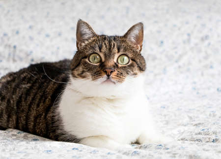 eyes wide open: Beautiful portrait of a playful tabby cat lying on the bed and staring into the camera. Funny colored cat with striped head and back and white chest, looking curiously with its eyes wide open