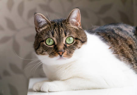 Beautiful portrait of a tabby cat lying on table and staring into the camera. Funny colored cat with striped head and back and white chest, looking curiously with its eyes wide open