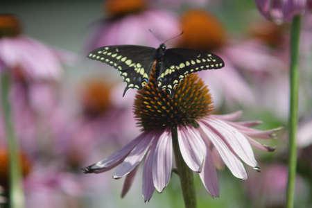 butterfly sitting on Rubin Glow flower