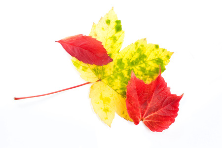 Three pretty red and yellow autumn or fall leaves of different shapes and sizes on a white background photo