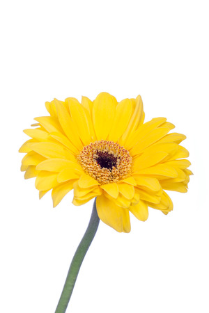 barberton daisy: Vibrant fresh yellow summer flower, a Gerbera or Barberton daisy which originated in South Africa and is a popular cultivated flower for interior decor, isolated on white