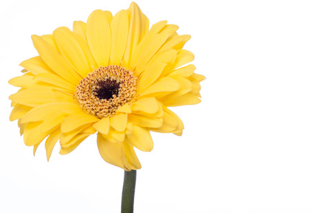 floristry: Beautiful vibrant yellow flower or Gerbera daisy, a popular cultivated ornamental summer flower, isolated on white