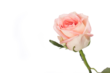 Beautiful Delicate Single Pink Rose Symbolic Of Love Isolated