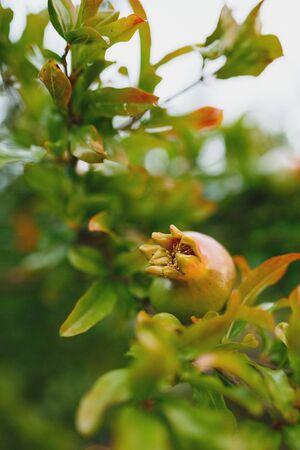 ornamental shrub: Pomegranate fruit growing on the branch on a tree amongst fresh green foliage as a food and ornamental shrub