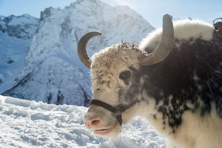 Portrait of a black and white Yak. Imagens